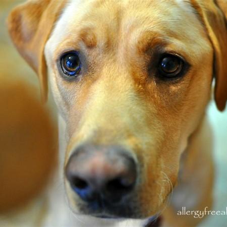 Gluten Free Dog Treats (with grain free option)