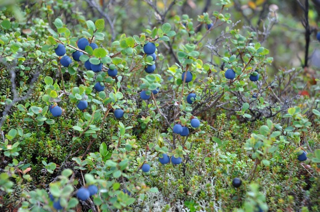 wild blueberries shown growing in lush natural habitat in alaska